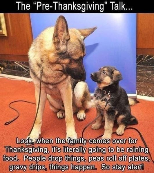 """German shepherd dog - The """"Pre-Thanksgiving"""" Talk... Look, when the family comes over for Thanksgiving, it's literally going to be raining food. People drop things, peas roll off plates, gravy drips, things happen. So stay alert!"""