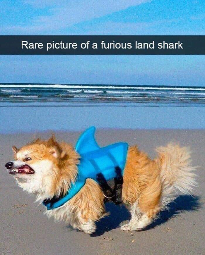 Dog clothes - Rare picture of a furious land shark