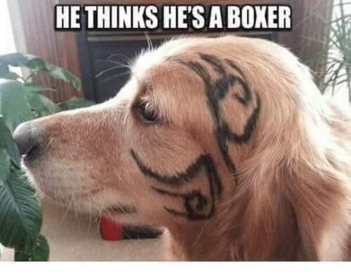 Dog - HE THINKS HE'S A BOXER