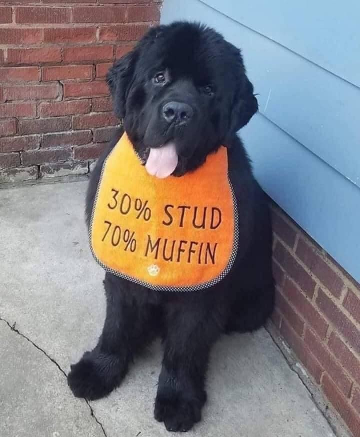 Dog - 30% STUD 70% MUFFIN