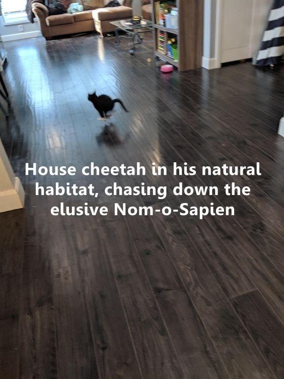 Laminate flooring - House cheetah in his natural habitat, chasing down the elusive Nom-o-Sapien