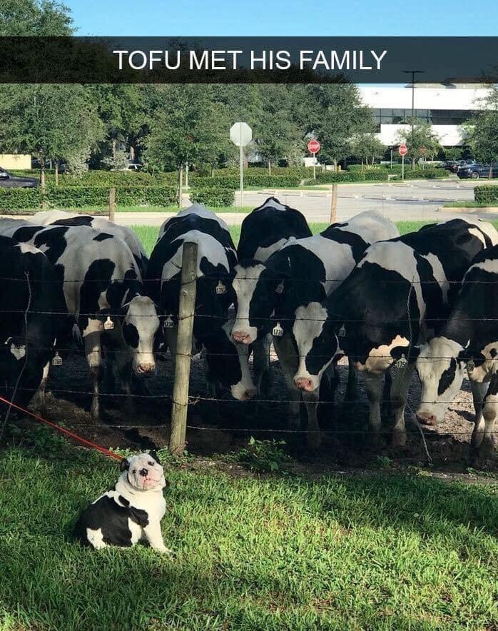Dairy cow - TOFU MET HIS FAMILY 79 IT34 176