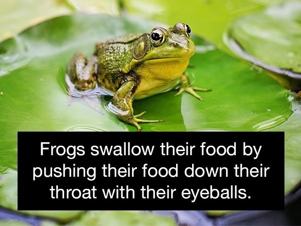 Frog - Frogs swallow their food by pushing their food down their throat with their eyeballs.
