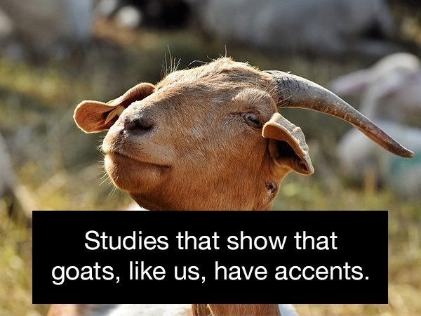 Goats - Studies that show that goats, like us, have accents.