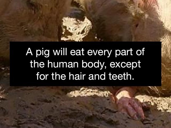 Adaptation - A pig will eat every part of the human body, except for the hair and teeth.