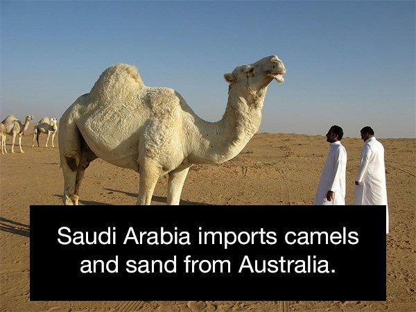 Camel - Saudi Arabia imports camels and sand from Australia.