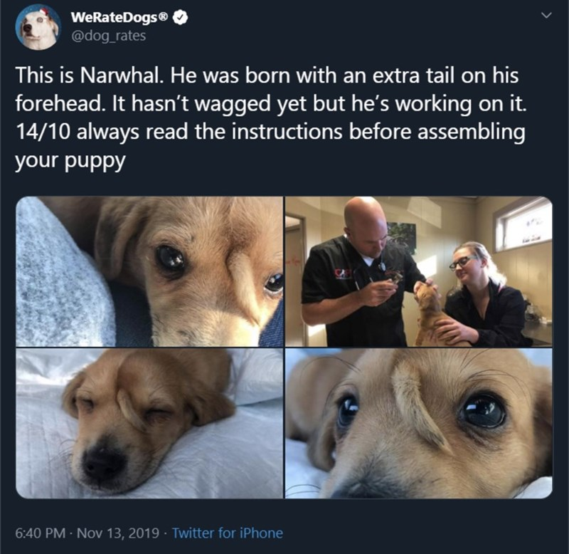Dog - WeRateDogs® @dog rates This is Narwhal. He was born with an extra tail on his forehead. It hasn't wagged yet but he's working on it. 14/10 always read the instructions before assembling your puppy 6:40 PM- Nov 13, 2019 Twitter for iPhone