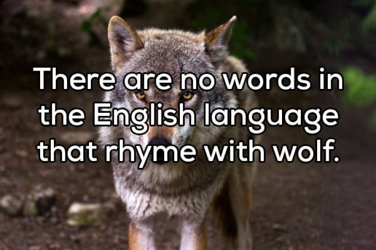 Mammal - There are no words in the English language that rhyme with wolf.