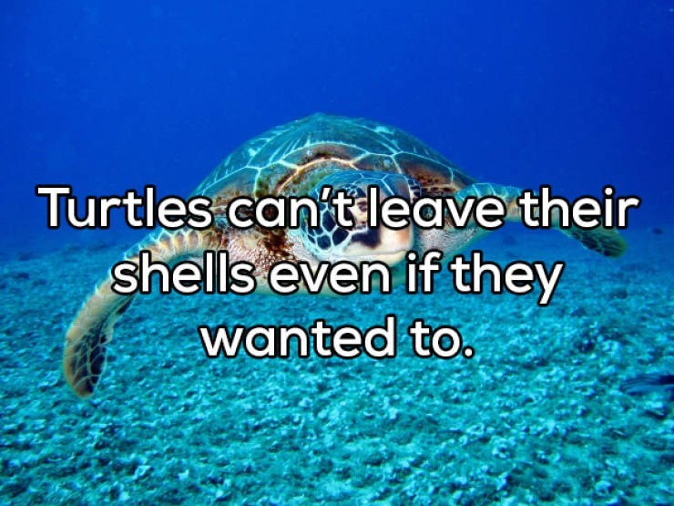 Sea turtle - Turtles canit leave their shells even if they wanted to