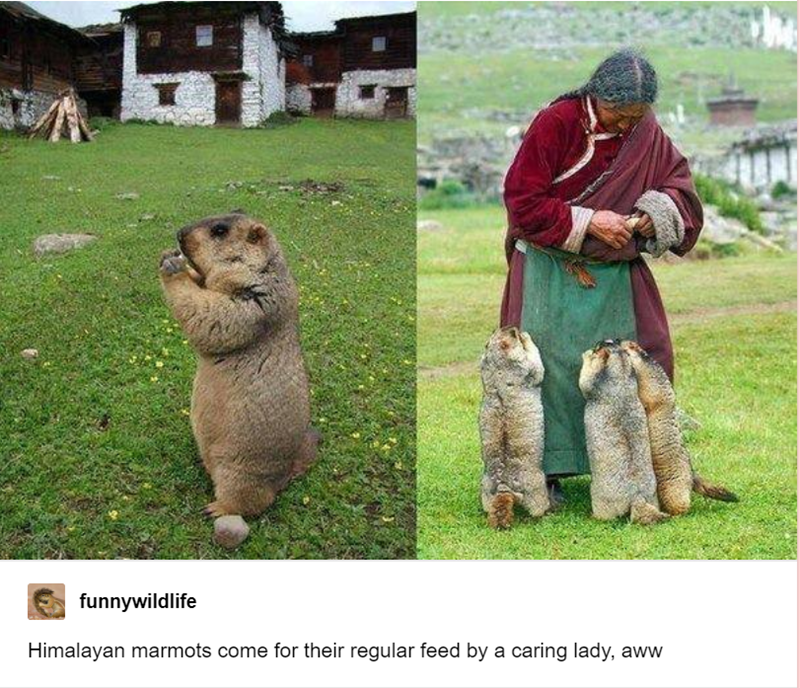 Adaptation - funnywildlife Himalayan marmots come for their regular feed by a caring lady, aww