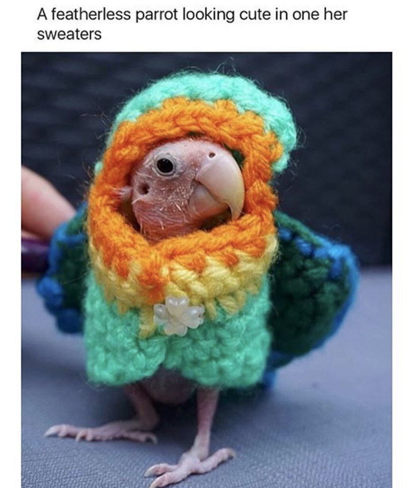 Crochet - A featherless parrot looking cute in one her Sweaters