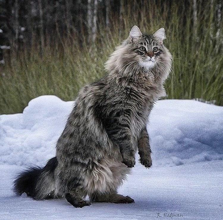 Cat - R Hedman