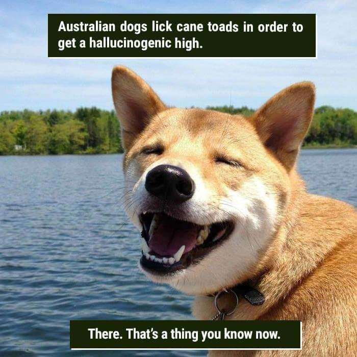 Dog - Australian dogs lick cane toads in order to get a hallucinogenic high. There. That's a thing you know now.