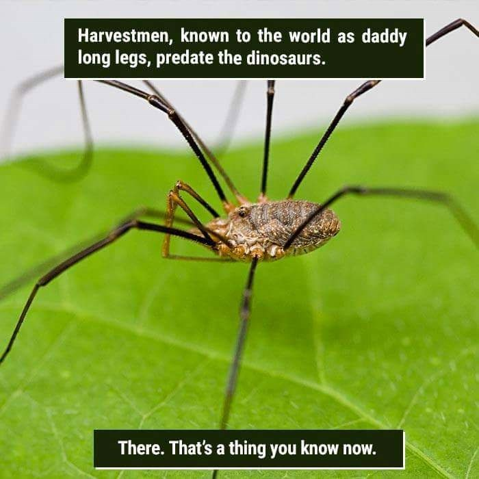 Harvestmen - Harvestmen, known to the world as daddy long legs, predate the dinosaurs. There.That's a thing you know now.