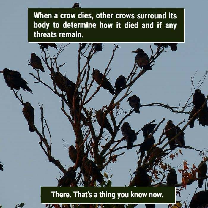 Plant - When a crow dies, other crows surround its body to determine how it died and if any threats remain. There. That's a thing you know now.