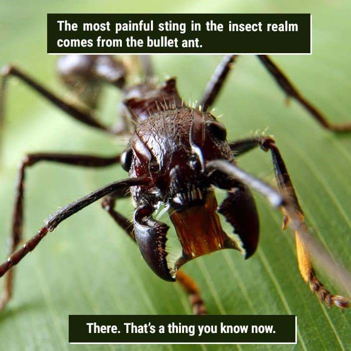 Invertebrate - The most painful sting in the insect realm comes from the bullet ant. There.That's a thing you know now.