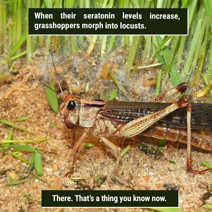 Locust - When their seratonin levels increase, grasshoppers morph into locusts. There. That's a thing you know now.