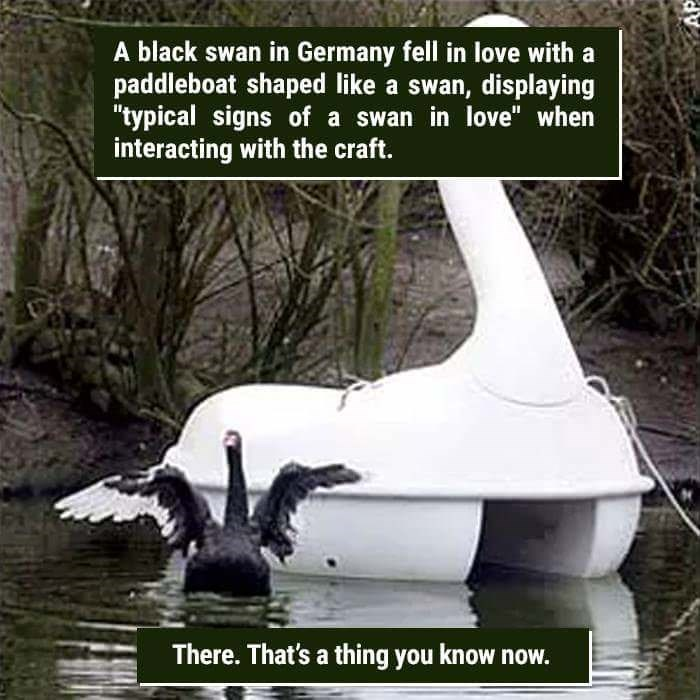 "Bird - A black swan in Germany fell in love with a paddleboat shaped like a swan, displaying ""typical signs of a swan in love"" when interacting with the craft. There. That's a thing you know now."