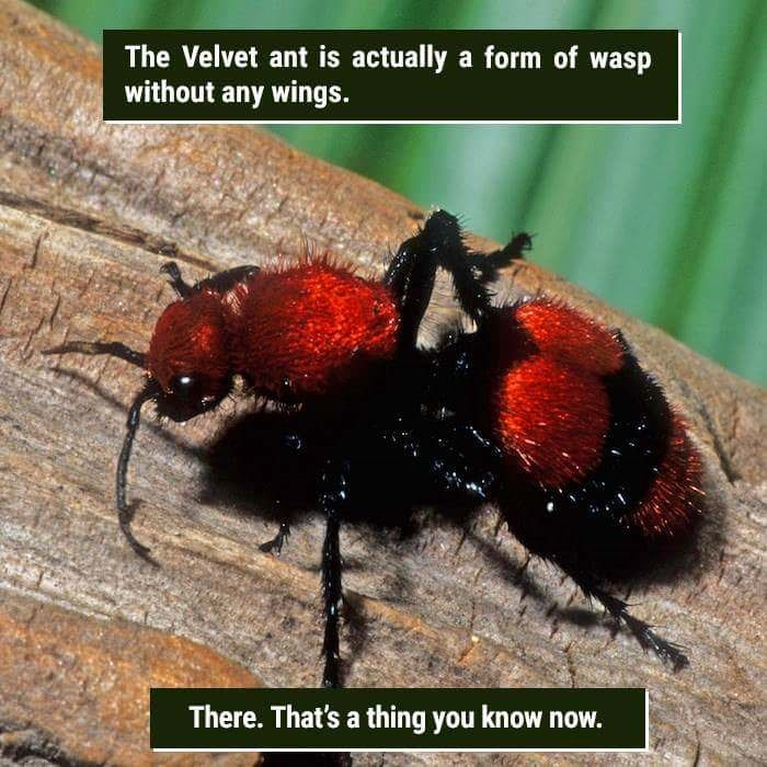 Insect - The Velvet ant is actually a form of wasp without any wings. There. That's a thing you know now.