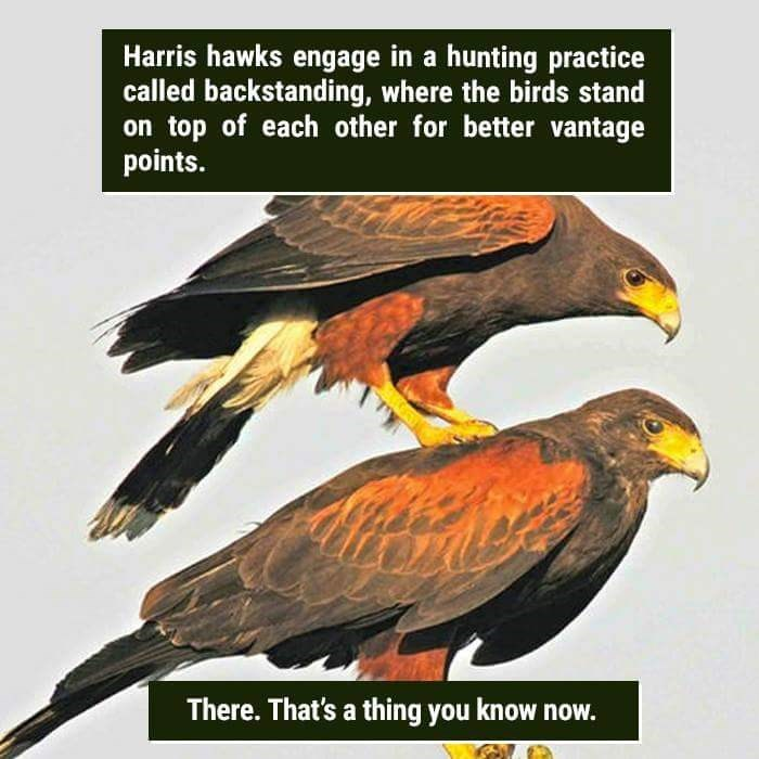 Bird - Harris hawks engage in a hunting practice called backstanding, where the birds stand on top of each other for better vantage points. There.That's a thing you know now.