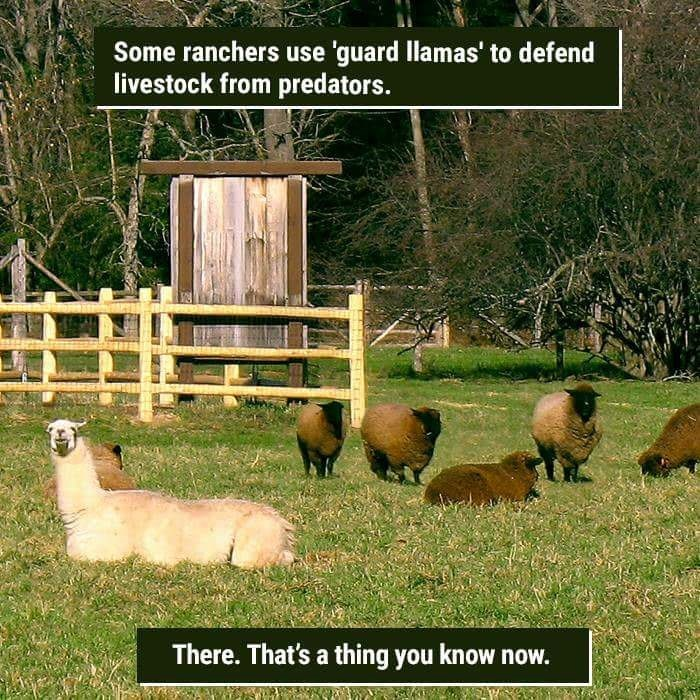 Pasture - Some ranchers use 'guard llamas' to defend livestock from predators. There. That's a thing you know now.
