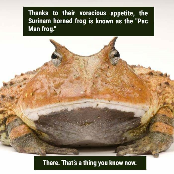 "Toad - Thanks to their voracious appetite, the Surinam horned frog is known as the ""Pac Man frog."" There. That's a thing you know now."