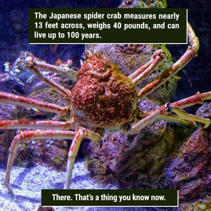 Crab - The Japanese spider crab measures nearly 13 feet across, weighs 40 pounds, and can live up to 100 years. There. That's a thing you know now.