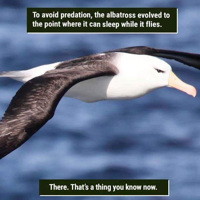 Bird - To avoid predation, the albatross evolved to the point where it can sleep while it flies. There. That's a thing you know now.