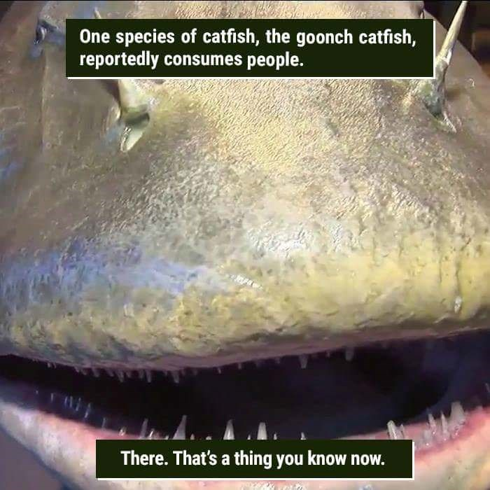 Organism - One species of catfish, the goonch catfish, reportedly consumes people. There. That's a thing you know now.