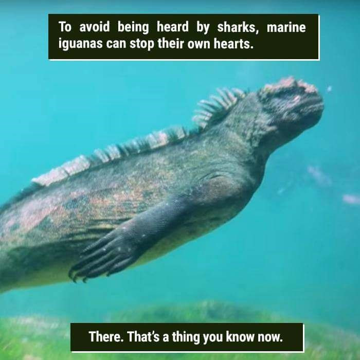Marine biology - To avoid being heard by sharks, marine iguanas can stop their own hearts. There.That's a thing you know now.