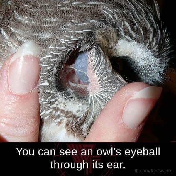 Photo caption - You can see an owl's eyeball through its ear. fb.com/factsweird