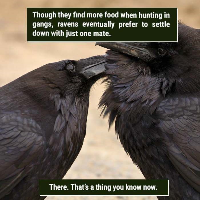 Bird - Though they find more food when hunting in gangs, ravens eventually prefer to settle down with just one mate. There. That's a thing you know now.