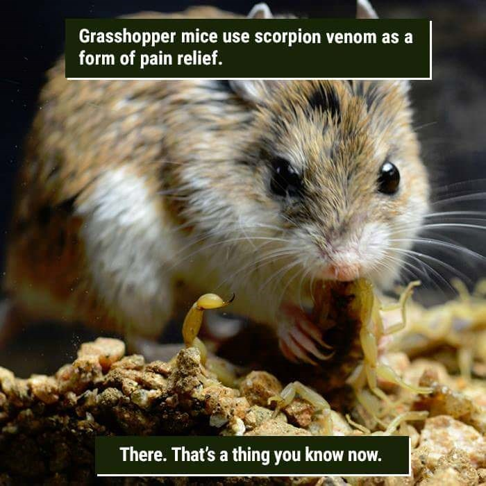 Rat - Grasshopper mice use scorpion venom as a form of pain relief. There. That's a thing you know now.