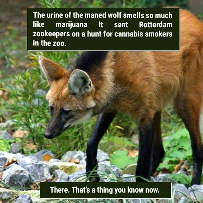 Wildlife - The urine of the maned wolf smells so much like marijuana it Rotterdam sent zookeepers on a hunt for cannabis smokers in the zoo. There. That's a thing you know now.