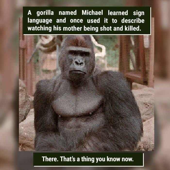Primate - A gorilla named Michael learned sign language and once used it to describe watching his mother being shot and killed. There. That's a thing you know now.