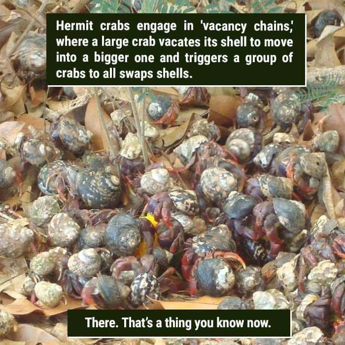 Adaptation - Hermit crabs engage in 'vacancy chains, where a large crab vacates its shell to move into a bigger one and triggers a group of crabs to all swaps shells. There. That's a thing you know now.