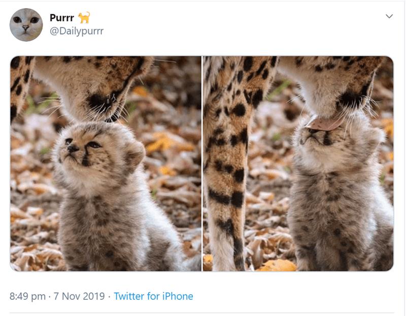 Felidae - Purrr @Dailypurrr 8:49 pm 7 Nov 2019 Twitter for iPhone