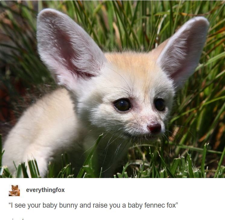 "Fennec fox - everythingfox ""I see your baby bunny and raise you a baby fennec fox"""