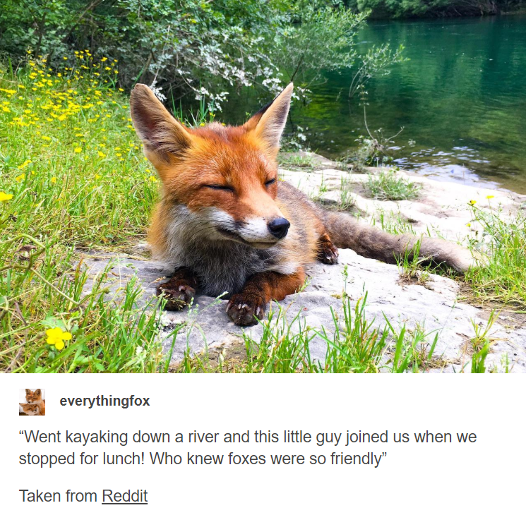 """Mammal - everythingfox """"Went kayaking down a river and this little guy joined us when we stopped for lunch! Who knew foxes were so friendly"""" Taken from Reddit"""