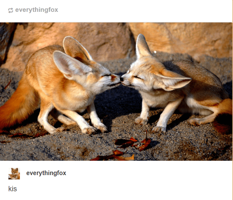 Fennec fox - everythingfox everythingfox kis