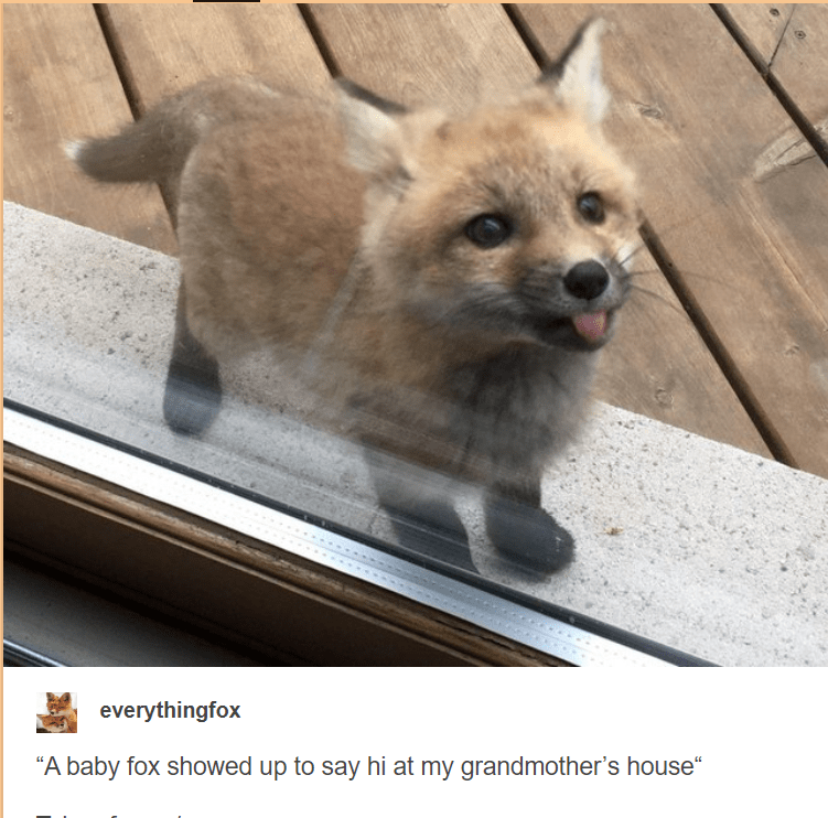 """Vertebrate - everythingfox """"A baby fox showed up to say hi at my grandmother's house"""""""