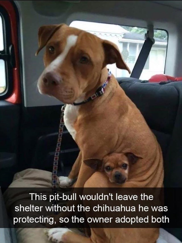 Dog - This pit-bull wou ld n't leave the shelter without the chihuahua he was protecting, so the owner adopted both JDDOD