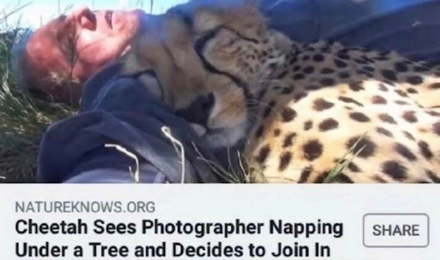 Terrestrial animal - NATUREKNOWS.ORG Cheetah Sees Photographer Napping Under a Tree and Decides to Join In SHARE