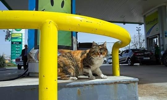 Cat - CAmate ltinate
