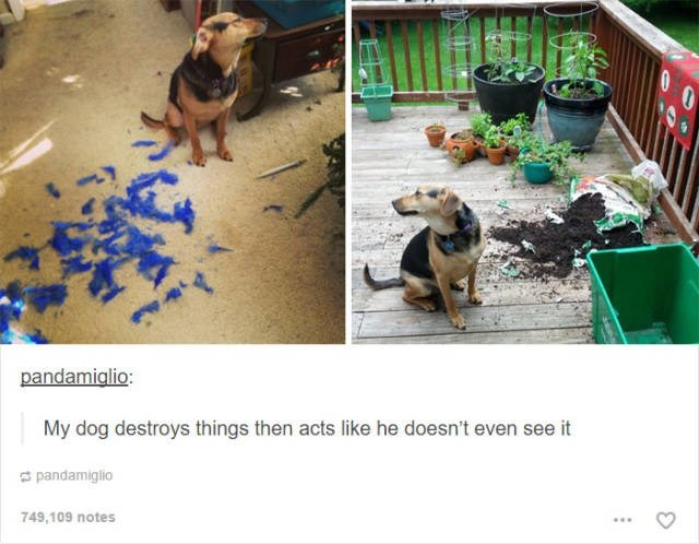 Dog - pandamiglio: My dog destroys things then acts like he doesn't even see it pandamiglio 749,109 notes
