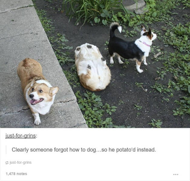 Dog - just-for-grins: Clearly someone forgot how to dog...so he potato'd instead. just-for-grins 1,478 notes