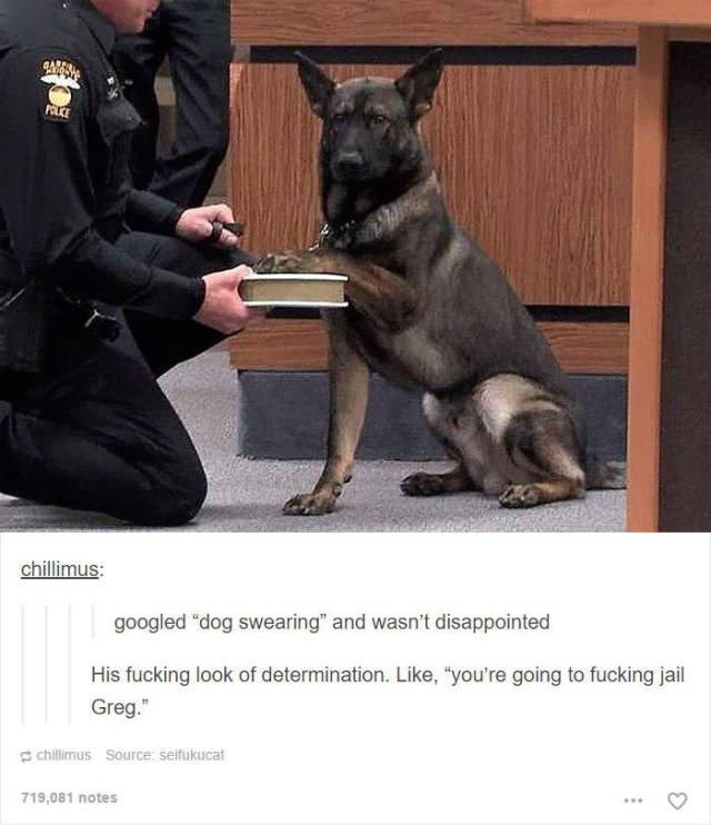 "Mammal - POLCE chillimus: googled ""dog swearing"" and wasn't disappointed His fucking look of determination. Like, ""you're going to fucking jail Greg."" chillimus Source: seifukucat 719,081 notes"