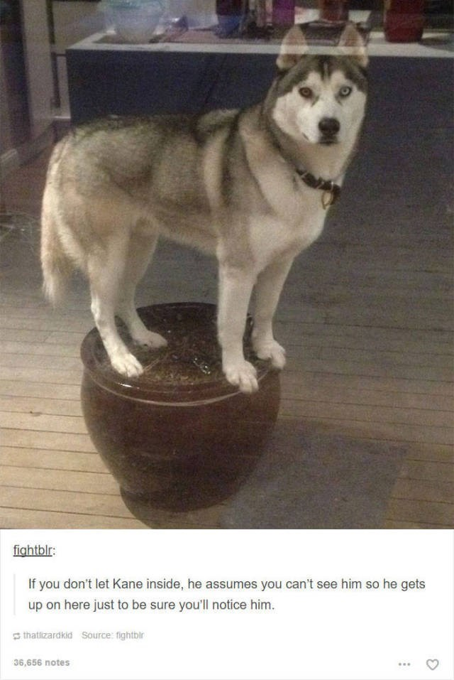 Dog - fightblr: If you don't let Kane inside, he assumes you can't see him so he gets up on here just to be sure you'll notice him. thatizardkid Source: fightbir 36,656 notes
