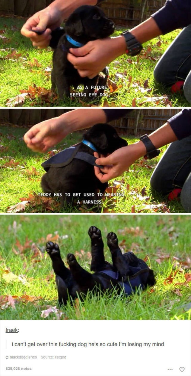 Grass - AS A FUTURE SEEING EYE DOG TEDDY HAS TO GET USED TO WEARING A HARNESS fraek: i can't get over this fucking dog he's so cute I'm losing my mind blackdogdiaries Source: ratgod 639,026 notes