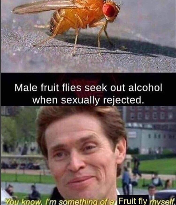 Insect - Male fruit flies seek out alcohol when sexually rejected You know, I'm something of a Fruit fly myself.